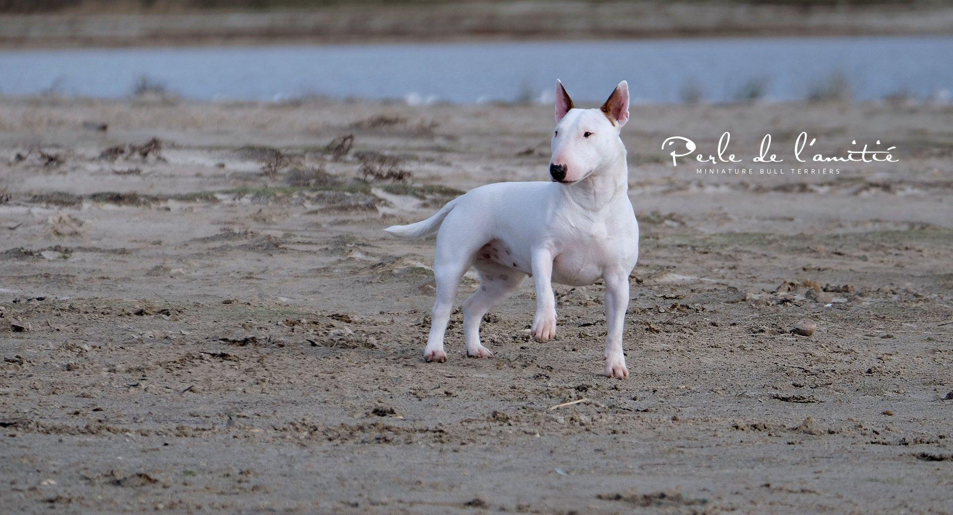 Miniatuur Bull Terriërs | Kennel Limburg Belgium - MBT breeding